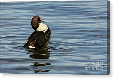 Making Waves King Eider Duck Canvas Print by Inspired Nature Photography Fine Art Photography