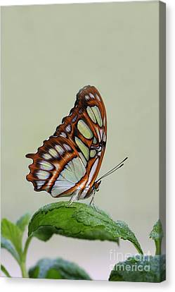 Malachite Butterfly #5 Canvas Print by Judy Whitton
