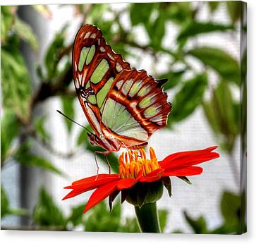 Malachite Butterfly On A Mexican Coneflower Canvas Print by Larry Trupp