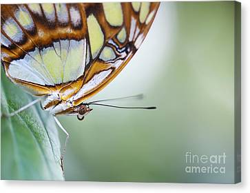Neotropical Canvas Print - Malachite Butterfly by Tim Gainey