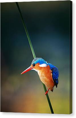 Malachite Kingfisher Canvas Print by Johan Swanepoel