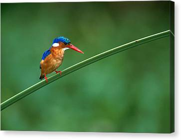 Malachite Kingfisher Tanzania Africa Canvas Print by Panoramic Images