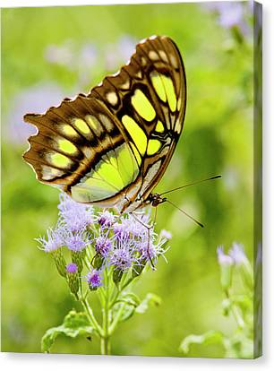Malachite (siproeta Stelenes Canvas Print by Larry Ditto