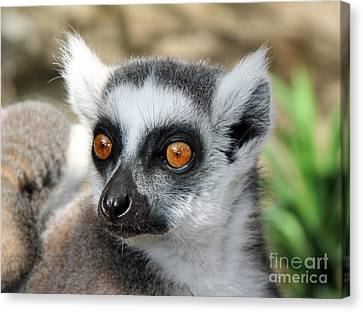 Canvas Print featuring the photograph Malagasy Lemur by Sergey Lukashin