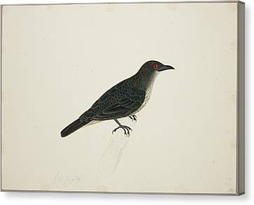 Malay Glossy Starling Canvas Print by British Library