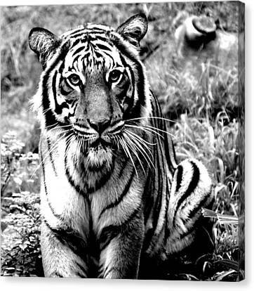 Malayan Tiger Canvas Print
