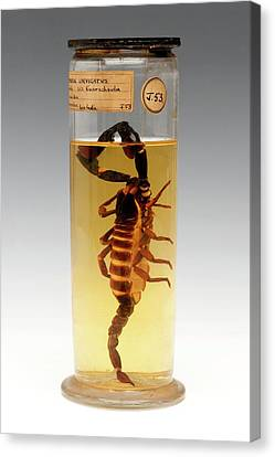Arachnida Canvas Print - Malaysian Forest Scorpion by Ucl, Grant Museum Of Zoology