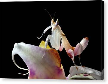 Malaysian Orchid Mantis Canvas Print