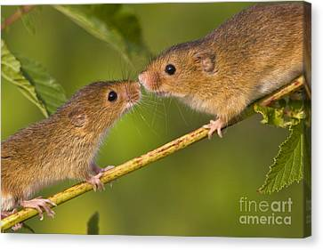 Male And Female Harvest Mice Canvas Print by Jean-Louis Klein and Marie-Luce Hubert