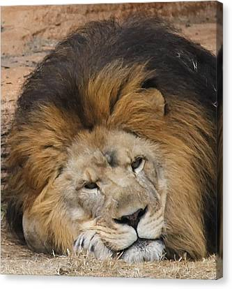 Male African Lion Canvas Print