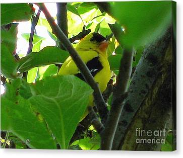 Male American Goldfinch Canvas Print by J McCombie