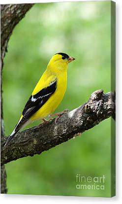 Finch Canvas Print - Male American Goldfinch by Thomas R Fletcher