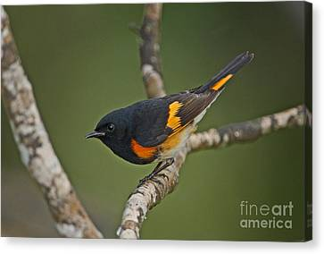 American Redstarts Canvas Print - Male American Redstart by Neil Bowman