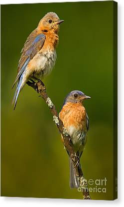 Canvas Print featuring the photograph Male And Female Bluebirds by Jerry Fornarotto