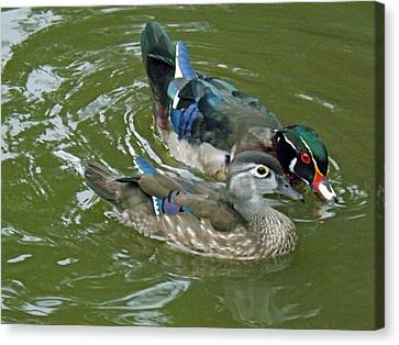 Male And Female Wood Ducks Canvas Print by Brenda Brown