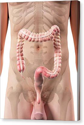Appendix Canvas Print - Male Appendix by Sciepro
