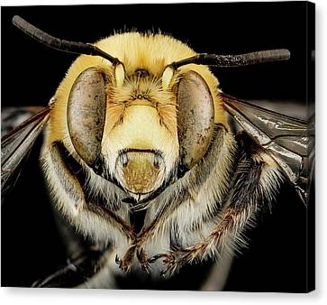 Male Bee Canvas Print