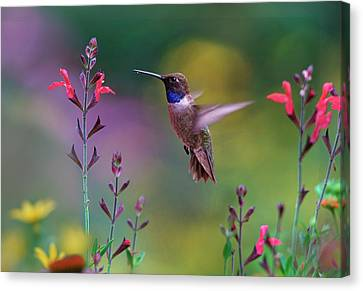 Hummingbird Canvas Print - Male Black-chinned Hummingbird by Tim Fitzharris