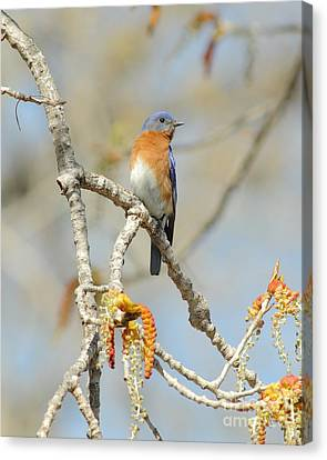 Male Bluebird In Budding Tree Canvas Print by Robert Frederick
