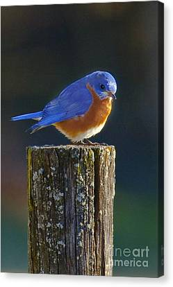 Male Bluebird Canvas Print by Ronald Lutz