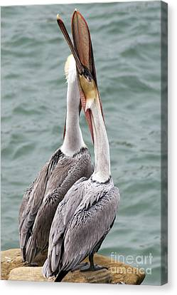 Male Brown Pelican Neck Exercise Canvas Print by Darleen Stry