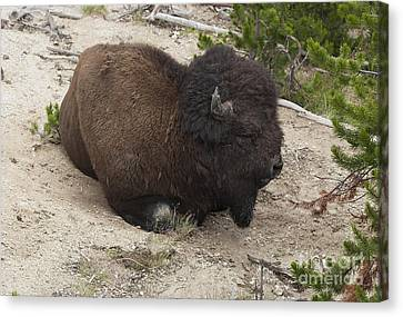 Canvas Print featuring the photograph Male Buffalo At Hot Springs by Belinda Greb