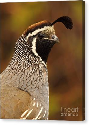 Male California Quail Canvas Print by Max Allen