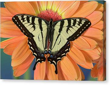 Male Canadian Tiger Swallowtail Canvas Print