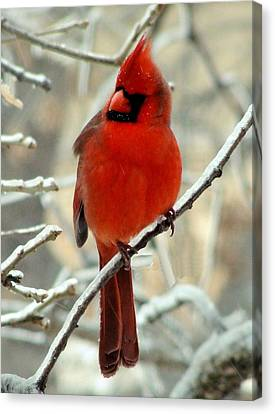 Canvas Print featuring the photograph Male Cardinal  by Janette Boyd