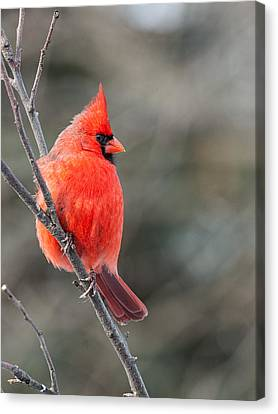 Male Cardinal Canvas Print