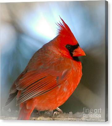 Male Cardinal  Canvas Print by Kerri Farley