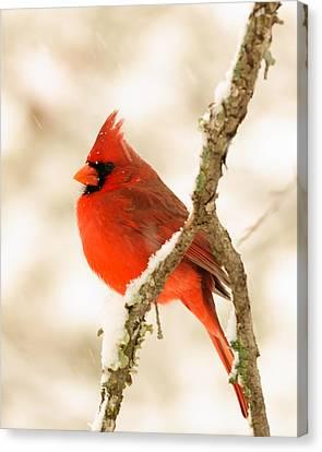 Male Cardinal Canvas Print by Thomas Pettengill