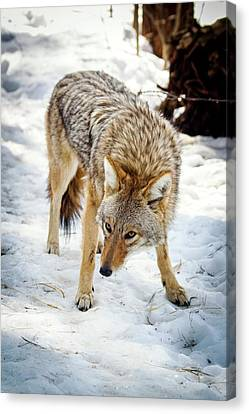 Maine Winter Canvas Print - Male Coyote In Snow by Paul Williams