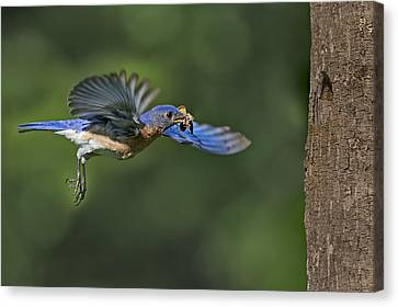 Seasons Canvas Print - Male Eastern Bluebird by Susan Candelario