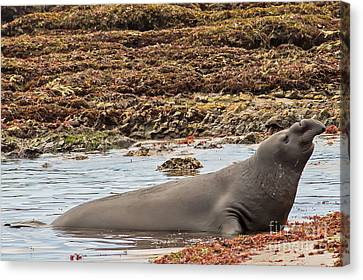 Male Elephant Seal In Ano Nuevo California State Park Canvas Print by Natural Focal Point Photography