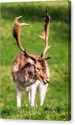 Male Fallow Deer Canvas Print by Paul Williams
