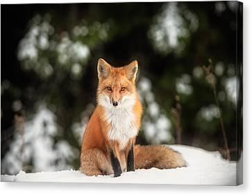 Male Fox Canvas Print by Robert Clifford