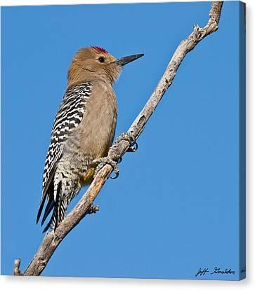 Male Gila Woodpecker Canvas Print