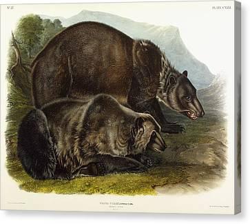 Male Grizzly Bear Canvas Print by Audubon