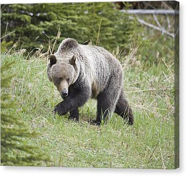 Male Grizzly In Kananaskis Canvas Print