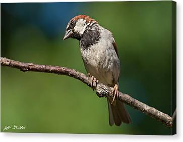 Male House Sparrow Perched In A Tree Canvas Print