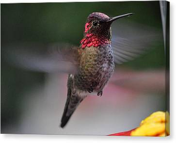 Male Hummingbird Anna In Flight Canvas Print by Jay Milo