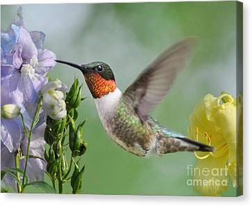 Male Hummingbird Canvas Print by Kathy Baccari