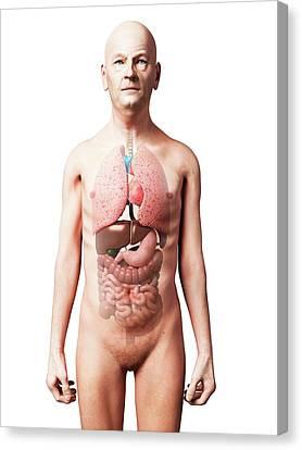 Male Internal Organs Canvas Print by Sebastian Kaulitzki