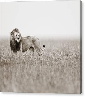 Male Lion II Masai Mara Kenya Canvas Print