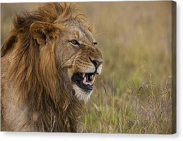 Simple Beauty In Colors Canvas Print - Male Lion Snarling In Ol Pejeta by Ian Cumming