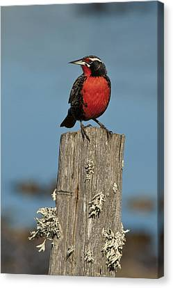 Meadowlark Canvas Print - Male Long-tailed Meadowlark On Fencepost by John Shaw