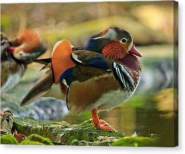 Canvas Print featuring the photograph Male Mandarin Duck On A Rock by Eti Reid