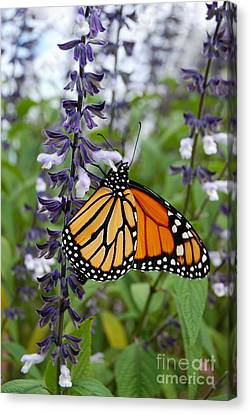 Canvas Print featuring the photograph Male Monarch Butterfly  by Eva Kaufman