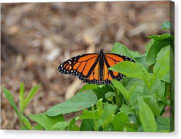 Hales Corners Canvas Print - Male Monarch Sunning Itself by Chris Tennis